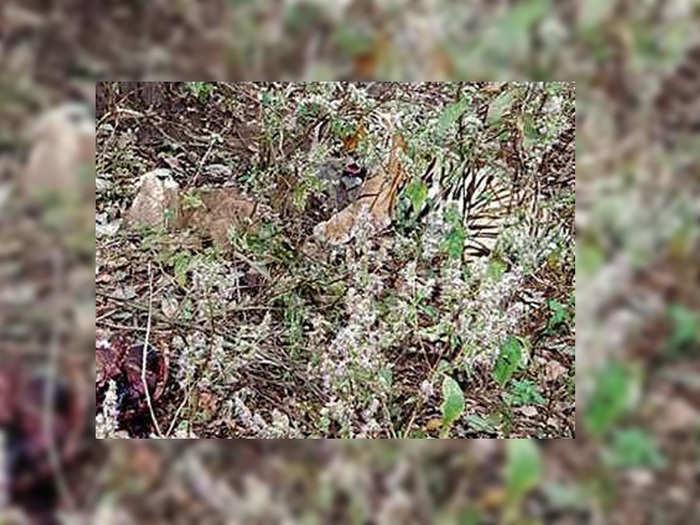 बाघ बना चिंता