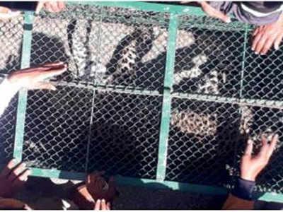7 घंटे की मशक्कत के बाद पकड़ा गया तेंदुआ