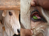 cruelty to animals meat vendors applies green chilly in the eyes of livestock