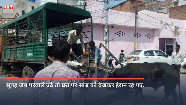 bull is climbed on the roof of a house in lucknow