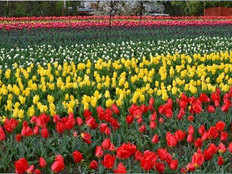 travel to srinagar during tulip festival