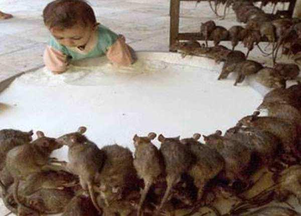 चूहों का मंदिर