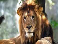 poacher killed by elephant in kruger national park eaten by lions