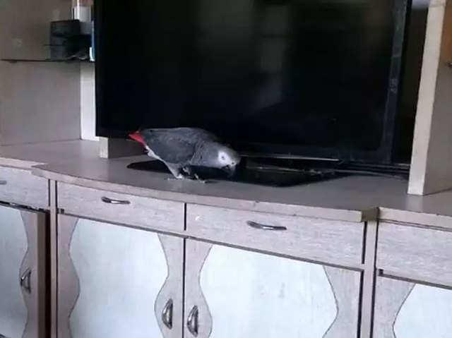 अलेक्सा को वॉइस कमांड्स देता है यह 'तोता', टेक्नॉलजी से है खास लगाव
