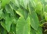 health benefits of taro roots or arbi