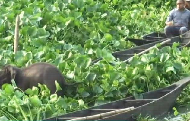 देखें, कीचड़ में फंसा हाथी के बच्चे को यूं बचाया गया