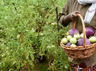 illegal cultivation of bt brinjal in fatehabad haryana confirmation in test