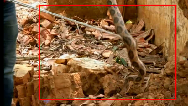 russells viper rescued in karnatakas shivamogga