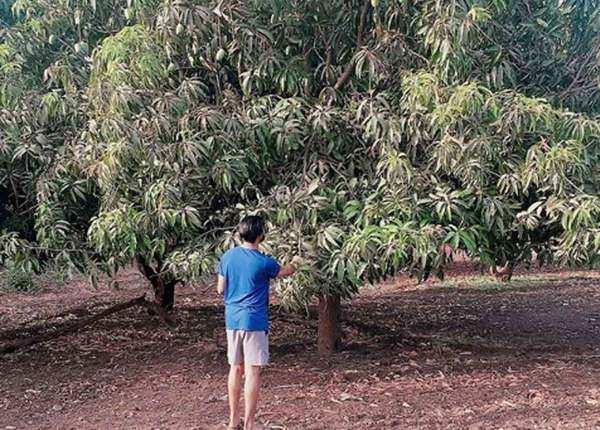पेड़ से आम तोड़ते जडेजा
