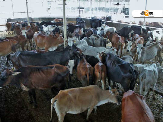 Caught on CCTV, man arrested for raping seven cows at cattle shelter in Ayodhya