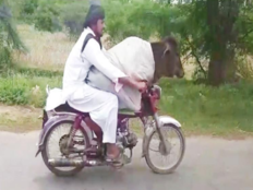 pakistani man rides bike with cow sitting in fron