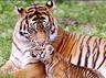 महाराष्ट्रः पांच साल में 60 बाघ बढ़े, शावकों की संख्या 250 पहुंची