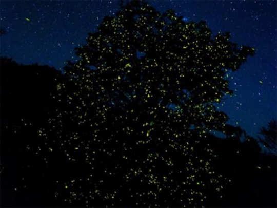 fireflies-festival