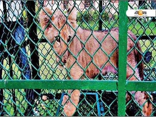 lion cub recovery case in Calcutta High Court