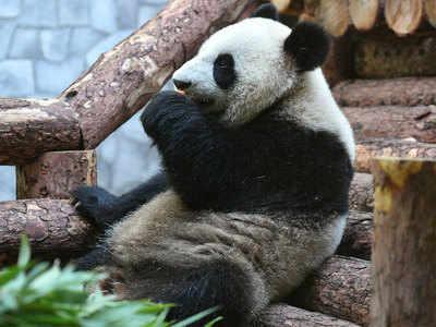 रूस के जू में रखा गया यह पांडा