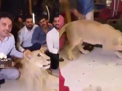 कुर्दिश शख्स ने अपने शेर के मुंह पर पोता केक, आलोचना के बाद मांगी माफी