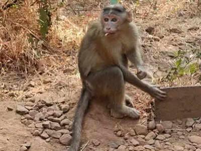 बंदरों ने खोल दी 800 किलो गांजे की पोल