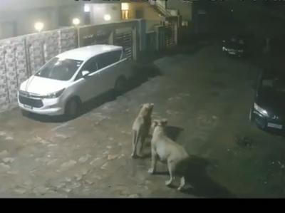 शहर के अंदर घूम रहे शेर