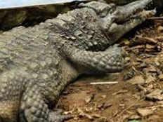 crocodile in field of farmer vadodara