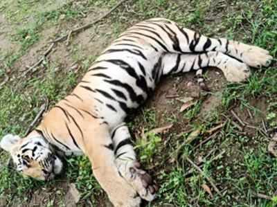 फोटो: मृत बाघिन