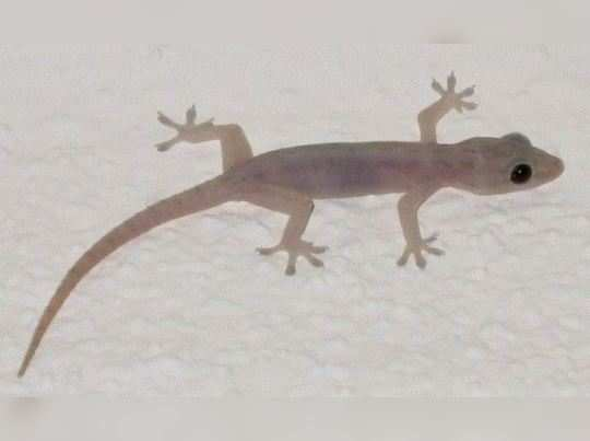Lizard Astrology
