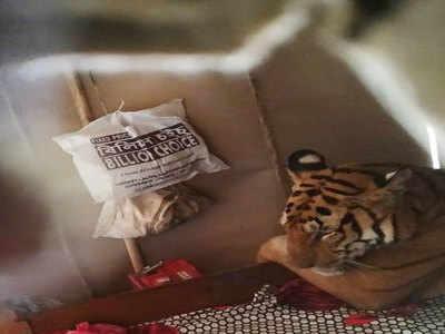 घर के बेड पर आराम से बैठा बाघ