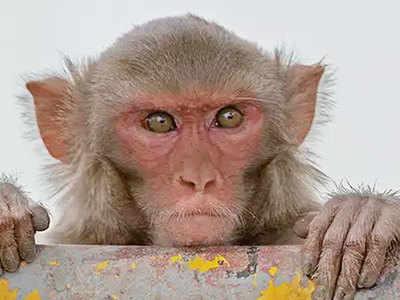 रीसस मकाक बंदर (फाइल फोटो)