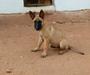 belgian malinois dog to be deployed in delhi metro