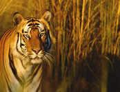 International Tiger day: जंगल के किस हिस्से में टाइगर है, ऐसे लगाएं पता