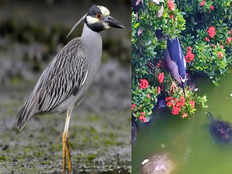 watch video how simple this night heron bird is catching fish video goes viral