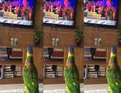 बॉलीवुड गाने पर झूमते तोते का विडियो वायरल