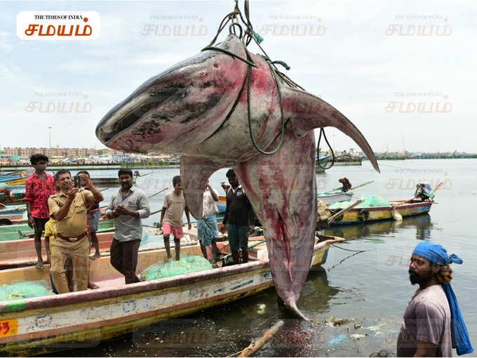 சென்னையில் பிடிபட்ட உலகின் மிகப் பெரிய திமிங்கல சுறா