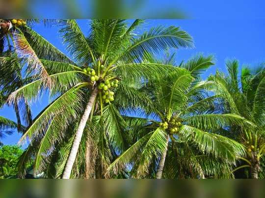 coconut-palm_g1bmmfo_