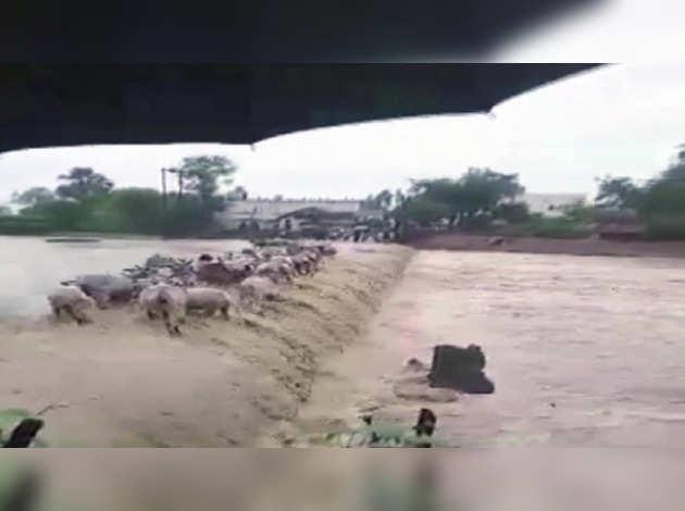 महाराष्ट्र: बाढ़ के पानी में बह गईं गाय, देखें विडियो