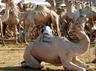 वाराणसी: प्रशासन की सख्ती से नहीं हो सकी ऊंटों की कुर्बानी