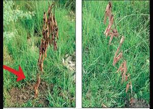 UP: वर्ल्ड रेकॉर्ड बनाने के 8 दिन बाद ही सूखे पौधे