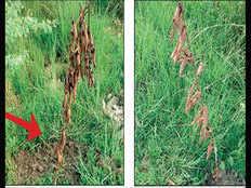 यूपी: वर्ल्ड रेकॉर्ड बनाने के 8 दिन बाद ही सूख गए पौधे