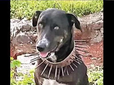 किसान ने अपने कुत्ते की गर्दन पर लगाया अनोखा पट्टा