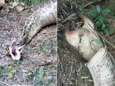 python being forced to spit a goat it had swallowed has gone viral