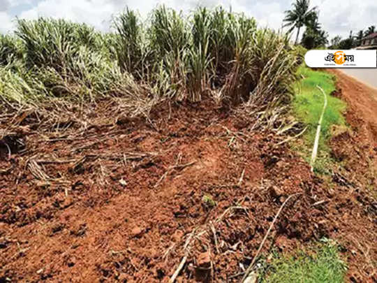 sugarcane-destroyed-at-Maha