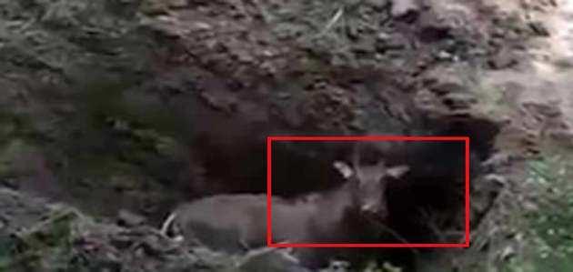 Shocking: Nilgai buried alive in Bihar