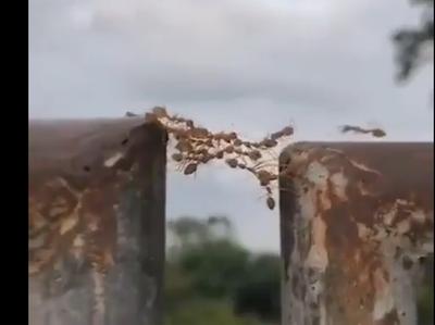 साथियों के पुल बनीं चीटियां