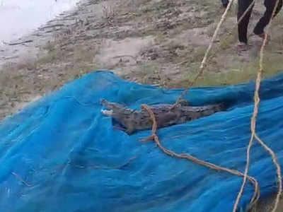 मछली के जाल में फंस गया मगरमच्छ