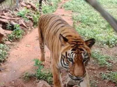 बाघिन प्रिया (फाइल फोटो)