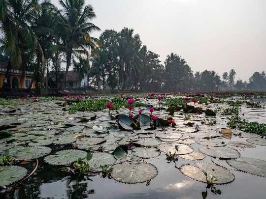 malarikal lotus