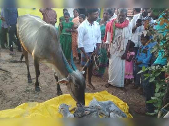 cow gives birth to 3 calves