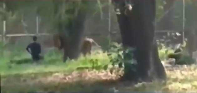 दिल्ली के चिड़ियाघर में शेर के बाड़े में कूदा युवक