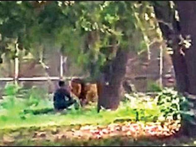 बाड़े में युवक को सूंघता शेर