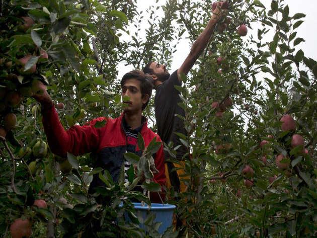 दक्षिण कश्मीर के एक सेब बागान की तस्वीर