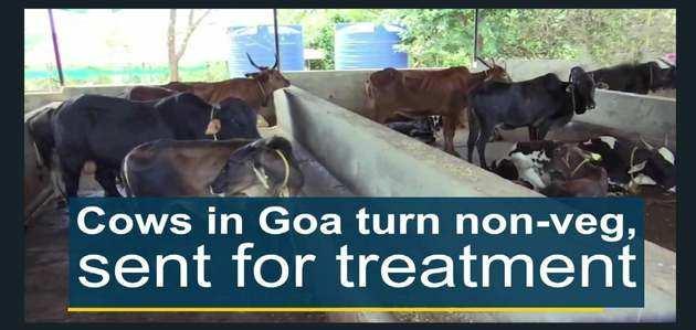 गोवा में गायें खा रही मांस, इलाज के लिए भेजा गया